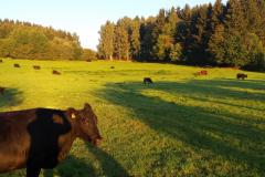 Angus pastviny